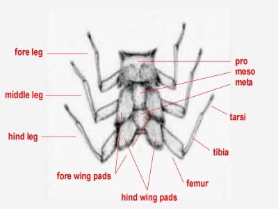Anatomy-thorax