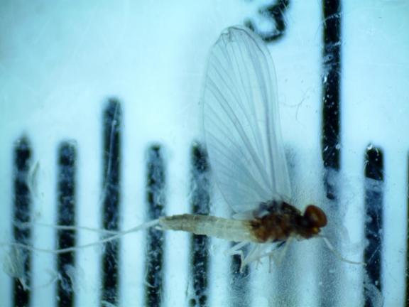 Aquatic insect 10 id washington fly fishing for Fly fishing entomology