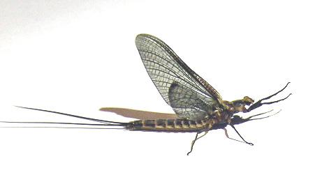 Aquatic insect 9 id washington fly fishing for Fly fishing entomology