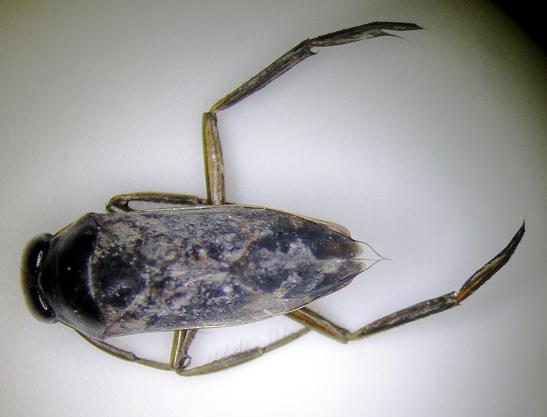 Aquatic insect 3 id washington fly fishing for Fly fishing entomology