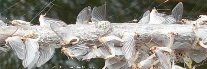 Flyfishing entomology for Fly fishing entomology
