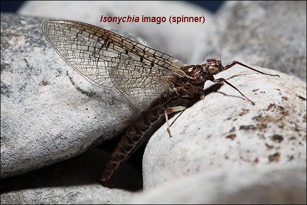 IsonychiaSpinner.jpg